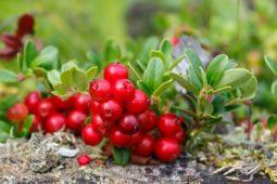 I frutti di bosco della Scandinavia